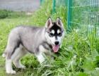 出售藍眼睛的哈士奇幼犬,狗狗雙藍眼,火字臉,很標準