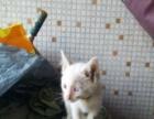 纯白鸳鸯眼两个月小猫公