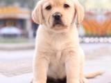 廣州本犬舍常年出售高品寵物犬幼犬