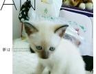 出售满月暹罗猫宝宝