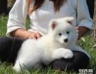 纯种萨摩耶幼犬 保品质 保健康 保成活 打折热卖中