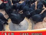 广东风云岭珍禽五黑绿壳蛋鸡苗出售-五黑绿壳蛋鸡母鸡3斤左右