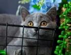 猫舍直销出售英短蓝猫蓝白渐层全国统一批发价