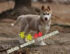 純種哈士奇幼犬多少錢 三個月哈士奇多重 京博犬舍