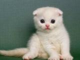 河源猫舍出售纯种纯白波斯活体 可上门挑选