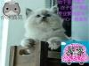 猫苑繁殖精品布偶猫
