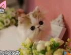 纯血统加菲猫 无病无癣家庭式繁育可上门挑选