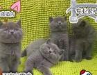 自家猫舍纯种蓝猫英国短毛猫蓝胖子包子脸蓝猫