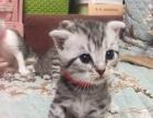 个人家养美国短毛猫