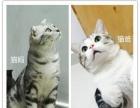 纯种家养美短小猫接受预定啦!纯家养萌翻了 求带走~
