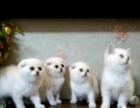 英短渐层 英国短毛猫英短蓝白 蓝猫