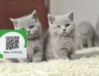 徐州哪里有蓝猫出售 徐州蓝猫价格 徐州宠物猫转让出售