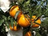 四川宜宾春见柑橘嫁接苗,云南哪里有耙耙柑桔果树苗批发