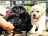 闵行哪里有拉布拉多犬卖 闵行拉布拉多犬价格 拉布拉多犬多少钱