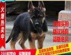 中国犬业协会指定德牧 黑背售后健康包个月有血统证