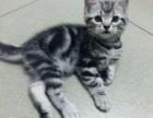 纯种 赛级 美短猫 北京实体猫舍 专业繁殖 多窝可选