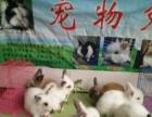 刚满月的小宠物兔非常可爱。有侏儒道奇凤眼猫猫西施猫猫小垂耳。