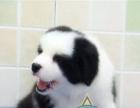 冠军级劳斯莱斯后代【赛级小边牧幼犬免疫已做完待售