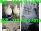 新疆黄色圆环元宝鸽价格出售黄色圆环单只图片