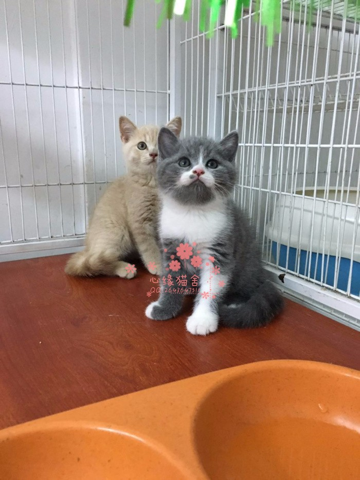 乌鲁木齐人都到哪里去买蓝猫 乌鲁木齐较便宜蓝猫价格