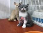 哈尔滨买卖宠物地方 哈尔滨哪里卖健康蓝猫价格便宜