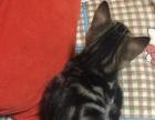重点色淡紫山猫布偶宝宝公母都有