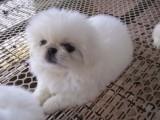 萌宠京巴犬正在等你带它回家哦!