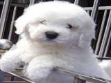 有卖小体泰迪犬 宠物泰迪漂亮好看 泰迪好养