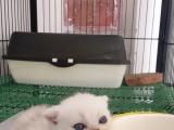 40天渐层小奶猫
