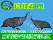 东升禽苗孵化公司出售优惠的珍珠鸡苗 北海鸡苗批发