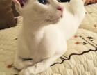 猫舍出售纯种CFA血统加菲宝宝MMDD低价出售