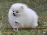 博美女神最爱-纯种专业犬舍繁殖-签协议-可送货上门