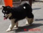 超帅男生最爱-阿拉斯加雪橇幼犬 性格温顺,品质特好