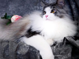 上海浦东纯白加菲猫低价出售