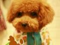 泰迪犬家庭式寄养