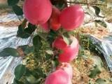 响富苹果苗,神富一号苹果苗,烟富0苹果苗,矮化苹果苗