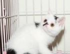 异国短毛猫加菲猫宝宝