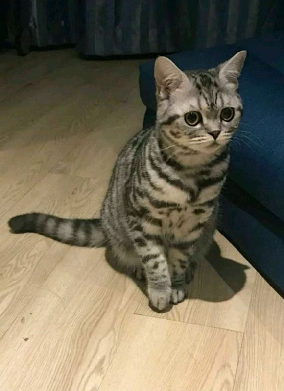 拉萨哪里有美短猫虎斑加白卖 纯血统 萌翻你的眼球 品质保障