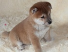 兰州纯种柴犬价格 兰州哪里能买到纯种柴犬