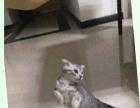自家的折耳猫一只想找一位有爱心的朋友收留