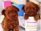 出售纯种泰迪 泰迪幼犬 品相好 包健康 质量保证