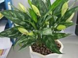 东莞办公室花卉出租公司,南城室内植物租摆,汇安园艺绿植养护