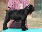 出售纯种意大利护卫犬卡斯罗幼犬 猛犬卡斯罗包健康