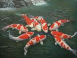 松江买锦鲤鱼的地方松江买锦鲤鱼的地方松江买冷水鱼的地方