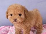 贵宾犬价格 佛山哪里有卖贵宾犬 养殖场直销签协议保健康