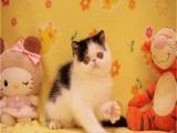 长期出售波斯猫 长毛波斯猫 白波斯猫 包纯种健康