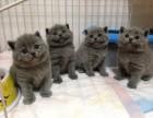 家养大脸蓝猫找主人啦