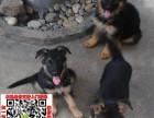 青岛德国牧羊犬什么价格 买卖黑背图片锤系德牧狼狗养殖基地