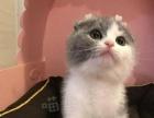 武汉猫舍纯种英国短毛猫蓝猫蓝白正八字粉鼻头折耳猫