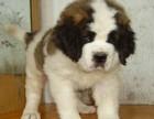 温州哪有圣伯纳犬卖 温州圣伯纳犬价格 温州圣伯纳犬多少钱
